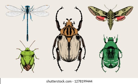 Insects set vector hand drawn illustrations.  Goliath beetle (Goliathus cacicus), Blue damselfly, Spurge hawk-moth (Hyles euphorbiae), Green shield bug, Rose chafer (Cetonia aurata).