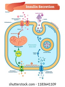 Insulin secretion vector illustration. Biological pancreas function labeled scheme. Full cycle diagram with glucose transporter, metabolism, ATP and potassium channel.