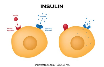 Insulin unlocks the cell's glucose channel vector