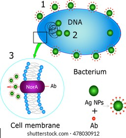 Interaction between antibiotics (Ab) and silver nanoparticles (AgNPs): facilitation of antibiotic penetration inside bacterium (1), interaction with DNA (2), inhibition of antibiotic efflux (3)