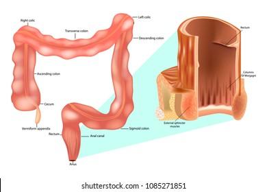 Anal internal sphincter