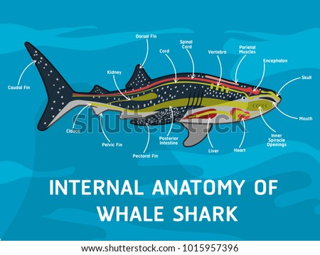 Internal Anatomy Whale Shark Stock Vector Royalty Free 1015957396