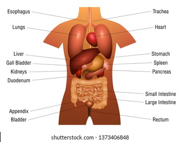 Internal organs chart - 3d anatomy diagram with inner organs and appropriate names - isolated vector illustration on white background.