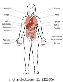Internal organs, female body - schematic human anatomy illustration - isolated vector on white background.