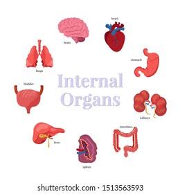 Internal organs flat vector illustrations set. Brain, heart, stomach and kidneys. Body anatomy, biology educational banner template. Lungs, bladder, liver, spleen and intestines. Human insides