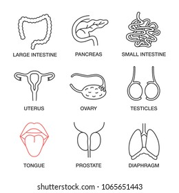 Internal organs linear icons set. Large and small intestine, pancreas, uterus, ovary, testicles, tongue, prostate, diaphragm. Thin line contour symbols. Isolated vector outline illustrations