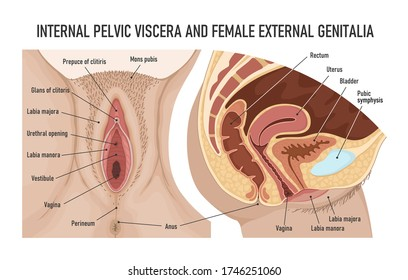 Internal pelvic viscera and female external genitalia. Female urogenital system. Anatomy of the female reproductive system.
