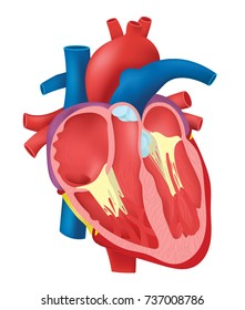 Internal Structure Heart
