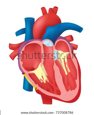 Internal Structure Heart Stock Vector (Royalty Free) 737008786 ...
