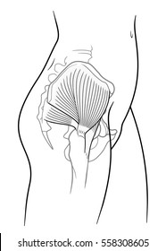 The internal structure of the human pelvic belt, piriformis, gluteus minimus muscle, gluteus medius muscle, side view. On a white background