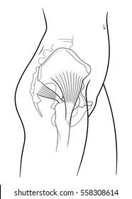 The internal structure of the human pelvic belt, piriformis, gluteus medius muscle, side view. On a white background