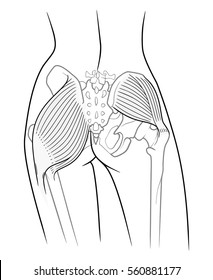 The internal structure of the pelvic girdle female skeleton and gluteus maximus and gluteus medius muscle, rear view. On a white background
