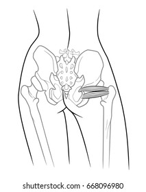 The internal structure of the pelvic girdle human skeleton, Musculus gemellus inferior, musculi gemelli,  Musculus gemellus superior, Upper twin and lower twin muscle, rear view. On a white background