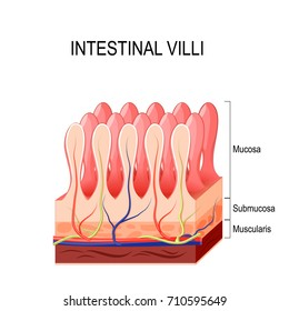 Intestinal villi. Small intestine lining.