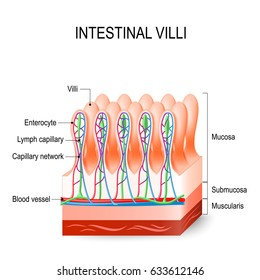 Intestinal villi in the small intestine. showing arteries, veins and lymph vessel. Human anatomy.