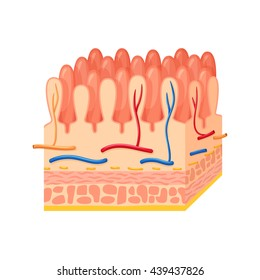 Intestinal wall anatomy. Medical science vector illustration. Internal human organ: mucosa, muscularis externa, serosa and villi. Education illustration
