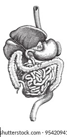 Intestine, vintage engraved illustration. Dictionary of words and things - Larive and Fleury - 1895.