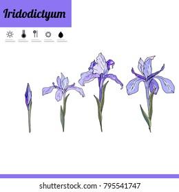 Iridodictium flower isolated on white. Plant iris on white background.