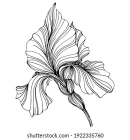 iris flower. Floral botanical flower. Isolated illustration element. Vector hand drawing wildflower for background, texture, wrapper pattern, frame or border.