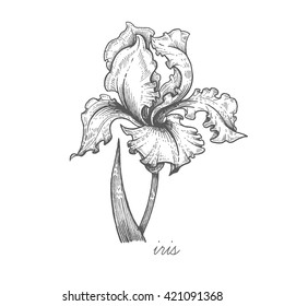 Iris flower. Vector plant isolated on white background. Designed to create package of health and beauty natural products.