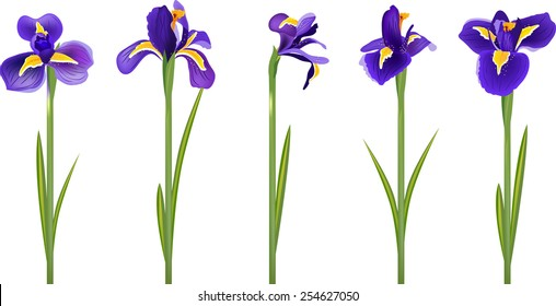 Iris flowers isolated on white background