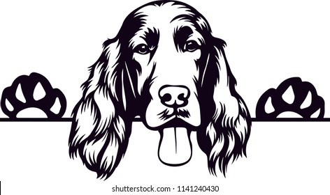 Irish Setter dog breed pet
