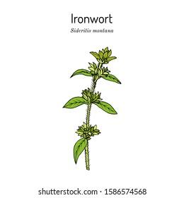Ironwort (Sideritis montana), or mountain tea, medicinal plant. Hand drawn botanical vector illustration