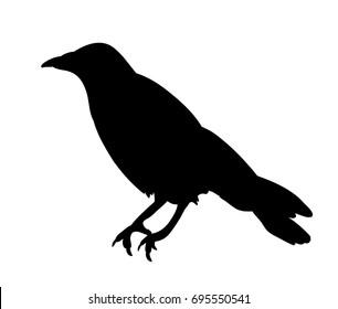 isolated black silhouette bird, crow
