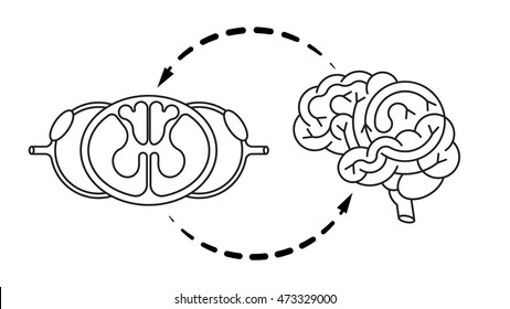 Isolated brain and spinal cord. Vector illustration of central nervous system for medical design or education.