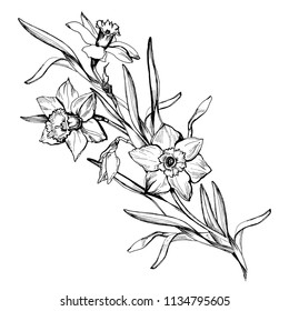 Isolated branch of hand drawn flowers daffodils, narcissus. Monochrome floral elements on white background. For wedding diesign, greeting card mockup. Vector Illustration