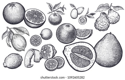 Isolated citrus fruit set. Orange, lemon, lime, mandarin, pomelo, grapefruit, bergamot, kumquat. Black and white. Vintage vector illustration art. Realistic hand drawing.