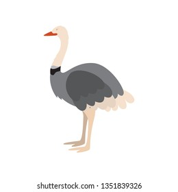 isolated cute ostrich