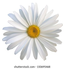 isolated daisy flower close-up, vector EPS10 mesh