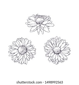 Isolated daisy flower drawing traditional ink black