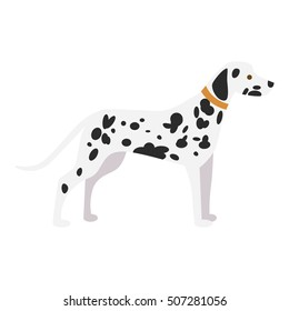 Isolated dalmatian dog on white background. Beautiful dog with black spots and collar.