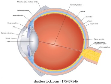 Isolated illustration of the human eye with latin labeling. Cross section of the sense organ with all important components like lens, pupil, eye chamber, retina, optic nerve and rainbow skin.