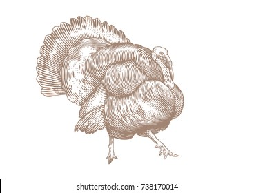 Isolated live turkey on the white