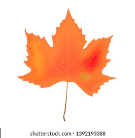 Isolated maple leaf on white background. Falling autumn leaf with dew