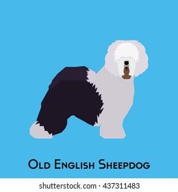 Isolated Old English Sheepdog on a blue background