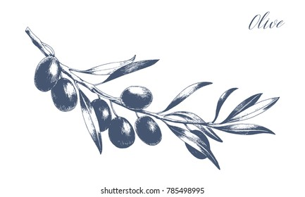 Isolated olive branch vector illustration. Monochrome engraving technique.