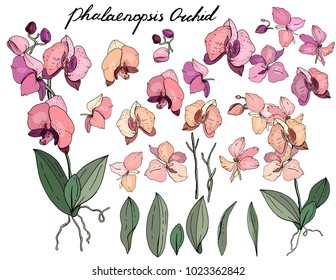 Isolated orchid phalaenopsis  on white. Different color, elements for floral season design