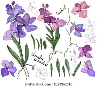 Isolated orchid vanda on white. Different color, elements for floral season design