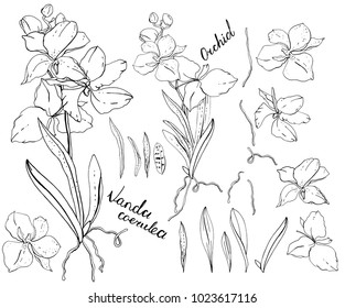 Isolated orchid vanda on white. black and white, elements for floral season design