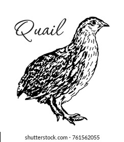 Isolated quail bird. Engraved art. Organic sketched farming birds. Use for restaurant, menu, grocery, market, store, party, meal