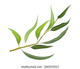Isolated realistic vector eucalyptus leaves