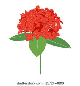 isolated red ixora flower vector illustration on white background