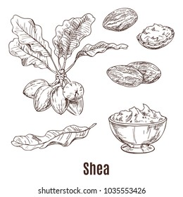 Isolated sketches of shea nuts and leaves, bowl or cup with shea butter or karite, lotion or moisturizer for skincare, cream or salve for hydrating. Health and dermatology, organic cosmetic theme