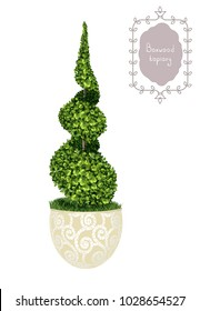 Isolated spiral boxwood topiary in a flower pot, garden plant, vector background. English boxwood, evergreen dwarf shrubs. Shrub for landscape.