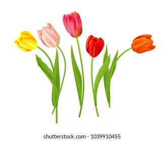 Isolated tulips flowers