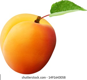 Isolated vector apricot. Fresh whole apricot fruit with leaf and half isolated on white background with clipping path